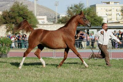 Trapani Arabian Horses Cup