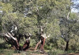 caltagirone bosco Santo Pietro