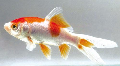 sesso-pesci-rossi